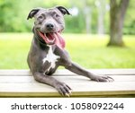 A Happy Blue And White Pit Bul...