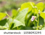 beans plants and flowers as... | Shutterstock . vector #1058092295