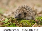 Hedgehog  Native  Wild ...