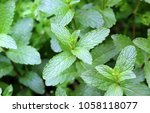 fresh mint in the garden | Shutterstock . vector #1058118077
