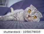 scottish fold cat with huge... | Shutterstock . vector #1058178035