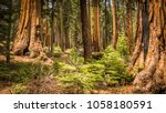 Giant Sequoias (Redwoods) in the Giant Forest Grove in the Sequoia National Park, California (USA) - stock photo