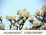 White Magnolia Flowers Bloomin...