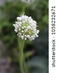 Small photo of White flowers of Green Shallot, Alliumcepa var. aggregatum, Alliaceae, Allium ascalonicum