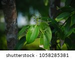 Cinnamomum Verum The Perennial...