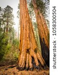 giant sequoias  redwoods  in... | Shutterstock . vector #1058300504