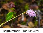 Small photo of Persicaria vivipara is a perennial herbaceous flowering plant in the knotweed and buckwheat family Polygonaceae, commonly known as alpine bistort.