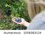 woman is holding fresh picked... | Shutterstock . vector #1058383124