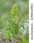 Botrychium Lunaria Is A Specie...