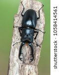 giraffe stag beetle  ...   Shutterstock . vector #1058414561