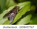Horse Fly   Tabanus Bovinus  ...