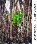 Small photo of Giant Alocasia tree, Alocasia Indica