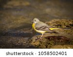 The Grey Wagtail Is More...