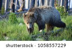single grizzly bear adult in...   Shutterstock . vector #1058557229