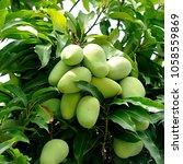 mangoes tree mangifera indica | Shutterstock . vector #1058559869