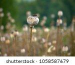 Poppyhead In A Field