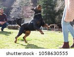 Rottweiler Playing In The Yard.