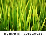 Small photo of Green paddy fìeld in sunlight
