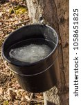 Small photo of Bucket Holding Maple Sap from Maple Tree With Ice