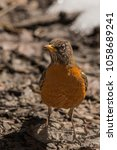 Small photo of An American Robin forages on the freshly thawed Spring ground in Yosemite National Park