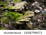 Funghi Mushrooms On Mossy Tree...