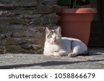 Old White Cat Lying Down On Th...
