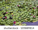 Lily Pads And Lotus Flowers In...