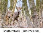 Capreolus Capreolus   Roe Deer...