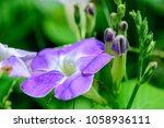 asystasia gangetica  ganges...   Shutterstock . vector #1058936111