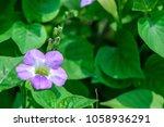 asystasia gangetica  ganges...   Shutterstock . vector #1058936291