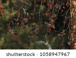 waxwing in canadian winter | Shutterstock . vector #1058947967