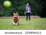 Stock photo retriever dog running fast to catch a yellow tennis ball on a field with green grass in the forest 105896411