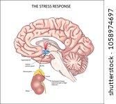 the stress response. brain work ... | Shutterstock .eps vector #1058974697