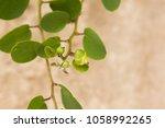 Small photo of Caper bush with caper fruit in italy