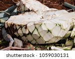 heart of blue agave  gualajara  ... | Shutterstock . vector #1059030131