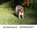 a grey squirrel in cape town ... | Shutterstock . vector #1059042047
