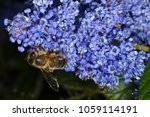 Small photo of Ceanothus griseus (Yankee Point or Carmel ceanothus), a species of flowering shrub in the family Rhamnaceae