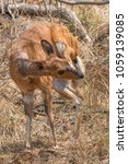 Small photo of A small bushbuck scratches its face with its hind leg