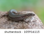 Image Of A European Wall Lizard