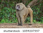 monkey in a bush. baboon.... | Shutterstock . vector #1059237557