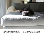 grey cat on a blue couch in the ...   Shutterstock . vector #1059272105