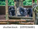 chimpanzee consists of two...   Shutterstock . vector #1059336881