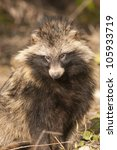 raccoon dog in autumn | Shutterstock . vector #105933719