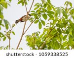the red whiskered bulbul or... | Shutterstock . vector #1059338525