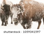 Plains Buffalo Covered In Frost ...
