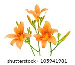 Blooming Day Lily Isolated On...
