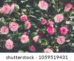 pink roses background | Shutterstock . vector #1059519431