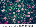 pink roses background | Shutterstock . vector #1059519434