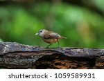 Small photo of Abbott's babbler (Malacocincla abbotti) is a species of bird in the family Pellorneidae, also known as rimba riang by local