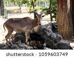 mountain goat in zoo. mountain... | Shutterstock . vector #1059603749